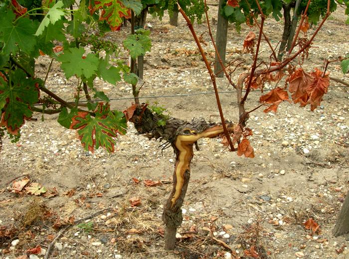 Relation entre la bande longitudinale et les symptômes foliaires