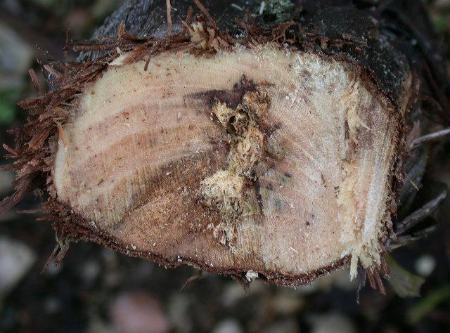 Nécrose sectorielle avec liseré foncé dans le bois accompagnée d'amadou (teinte claire et friable)