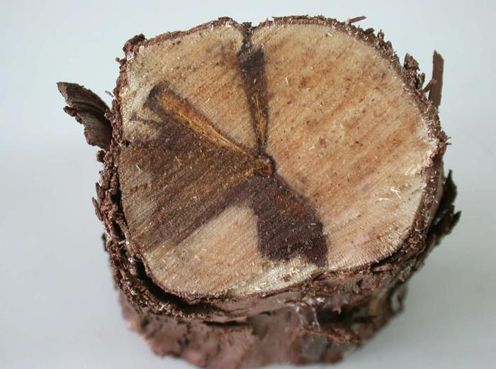 Nécroses sectorielles dans le bois