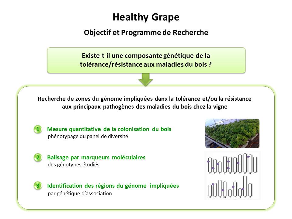 Healthy Grape, objectifs et programme de recherche