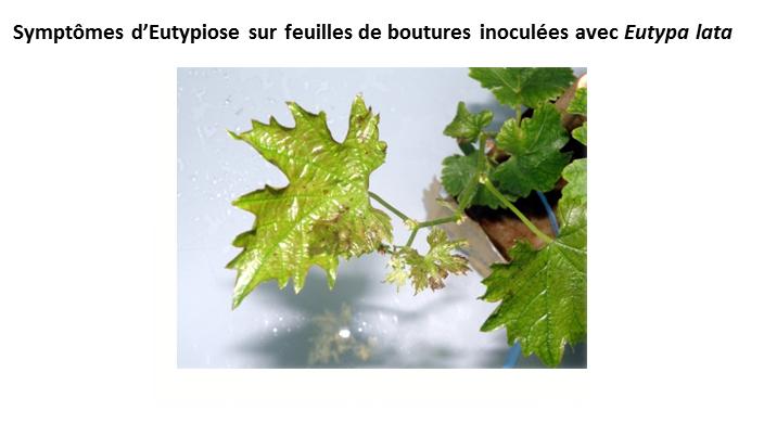 Symptômes d'eutypiose sur feuilles de boutures inoculées avec Eutypa lata