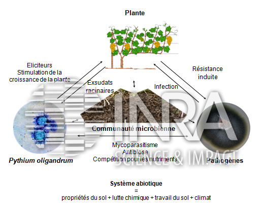 Spores équinulées de P. oligandrum, agent de lutte biologique potentiel contre les maladies du bois de la vigne. Thèse de J. Gerbore, 2013