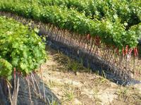 pepiniere-vigne