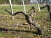 vigne1