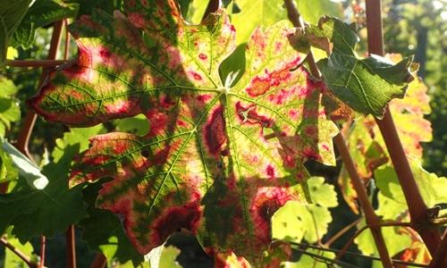 Maladie Du Bois De La Vigne - les maladies du bois de la vigne Accueil